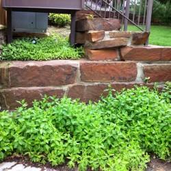 Julie's Mint Garden